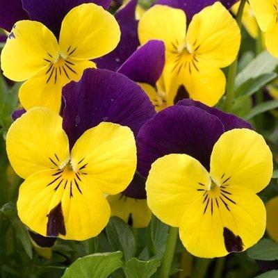 Viola Yellow Jump Up F1 (Vibrante Series)