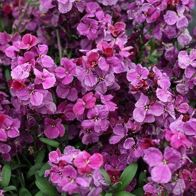 Erysimum ( wallflower ) Sugar Rush Purple Bicolour
