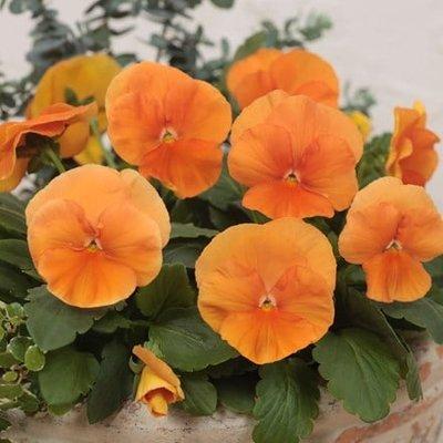 pansy Deep Orange F1 (Premier Series)