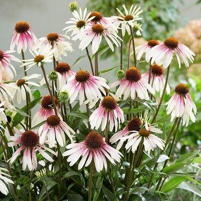 Echinacea Pretty Parasols (