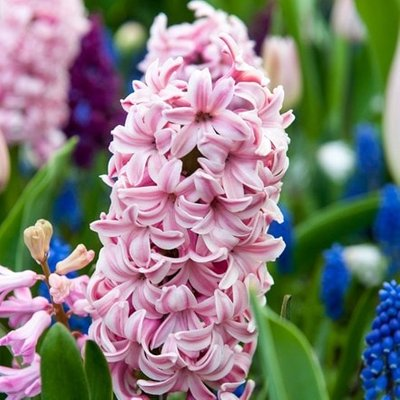 Hyacinthus orientalis Fondant
