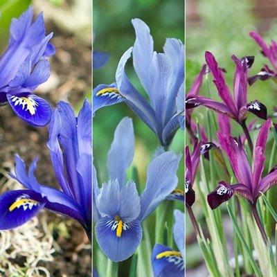 reticulata iris collection