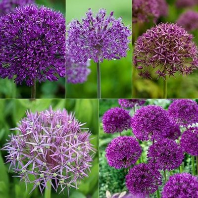 Big bold allium collection