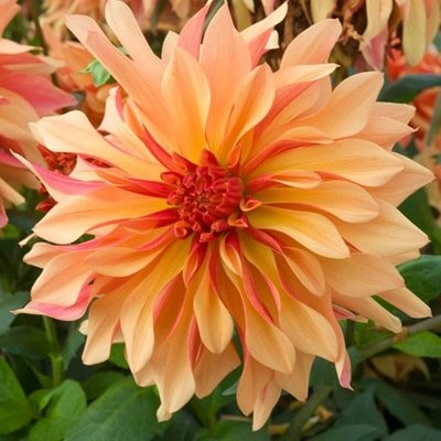 Dahlia French Can Can