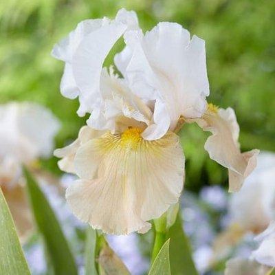 Iris Champagne Elegance