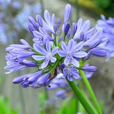Agapanthus Dokter Brouwer