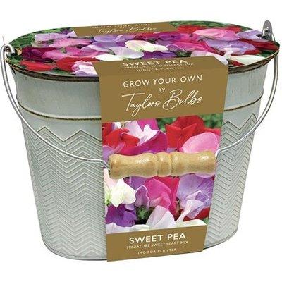 Lathyrus Sweet peas in a gift bucket