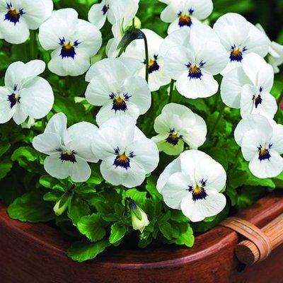 Viola Vibrante White Blotch F1 (Vibrante Series)
