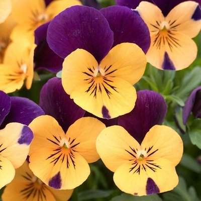 Viola Vibrante Orange Purple Wing F1 (Vibrante Series)