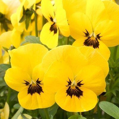 Viola Vibrante Yellow Blotch F1 (Vibrante Series)