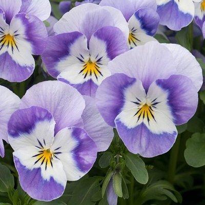 Viola Vibrante Wedgewood F1 (Vibrante Series)