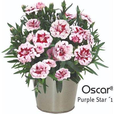 Dianthus Oscar Purple Star (