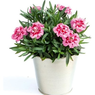 Dianthus Oscar Pink and Purple (