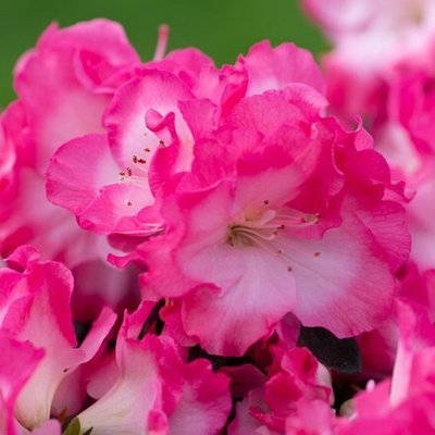 Rhododendron Bicolor (PBR) (Evergreen Series)