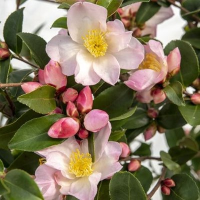 Camellia japonica Fairy Blush