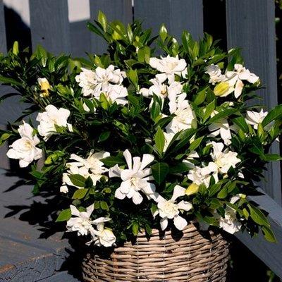Gardenia jasminoides Celestial Star (PBR)