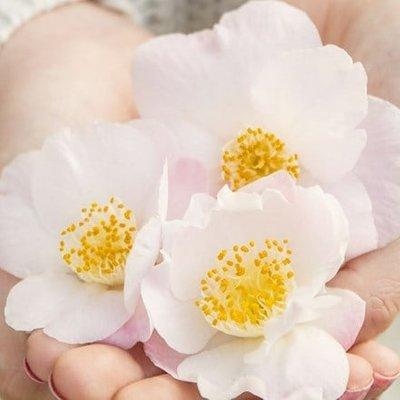 Camellia japonica Winter Perfume Pearl (PBR)