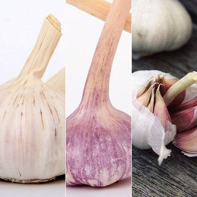 French garlic collection for spring planting