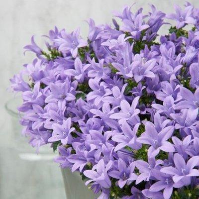 Campanula portenschlagiana Ambella Lavender (