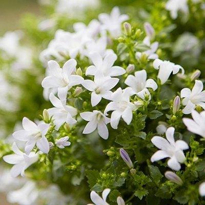 Campanula portenschlagiana Ambella White (