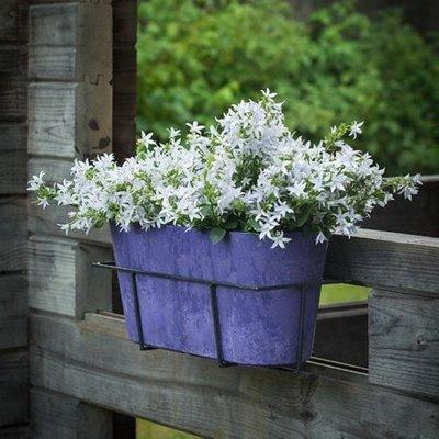 Campanula Adansa White Compact (