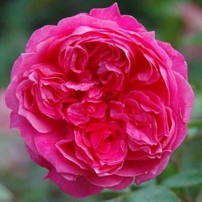 Rosa Ivor