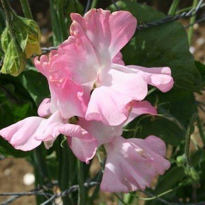 Lathyrus odoratus Pink Panther