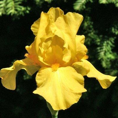 Iris barbata-elatior Goldfackel