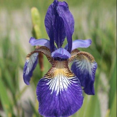 Iris sibirica Flight of Butterflies