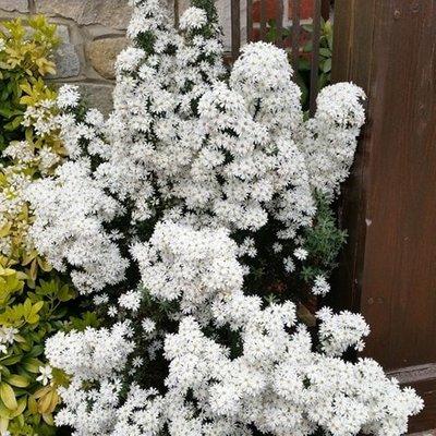 Olearia phlogopappa Spring Bling