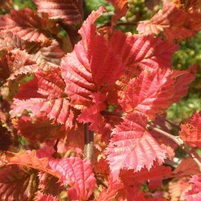 Carpinus betulus Rockhampton Red (Lochglow)