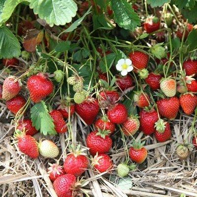 strawberry Symphony (PBR)