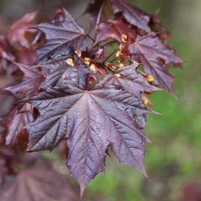 Acer platanoides Crimson King