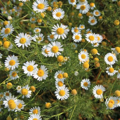 Chamomile (Wild or German)