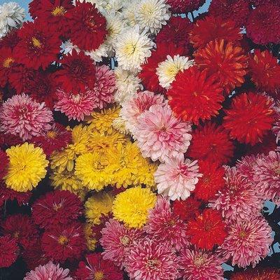 Chrysanthemum x koreanum