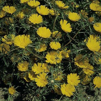 Cladanthus arabicus