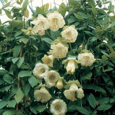 Cobaea scandens f. alba