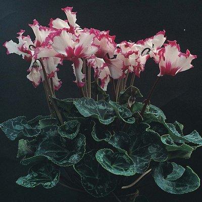 Cyclamen persicum grandiflorum