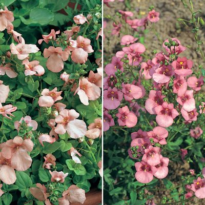 Diascia Collection