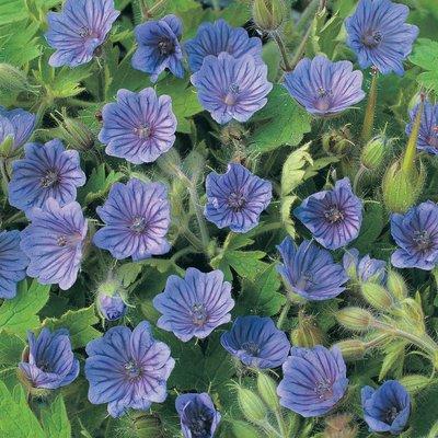 Geranium bohemicum