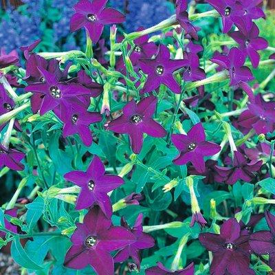 Nicotiana x sanderae