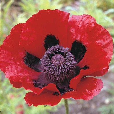Poppy (Great Scarlet)
