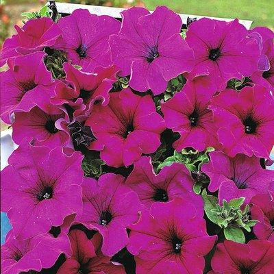 Petunia grandiflora pendula