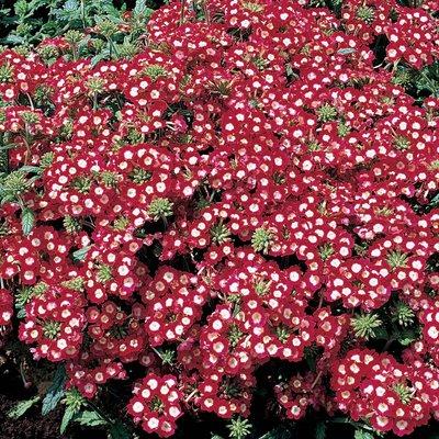 Verbena x hybrida