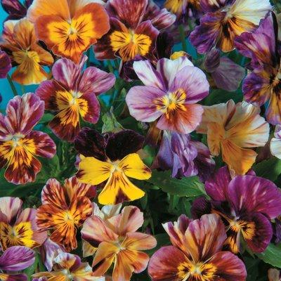 Viola x williamsiana
