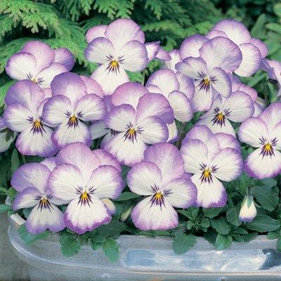 Viola x hybrida