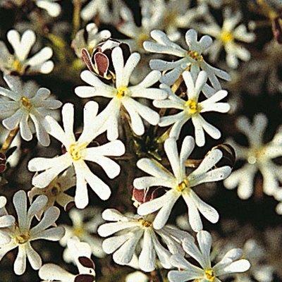 Zaluzianskya capensis