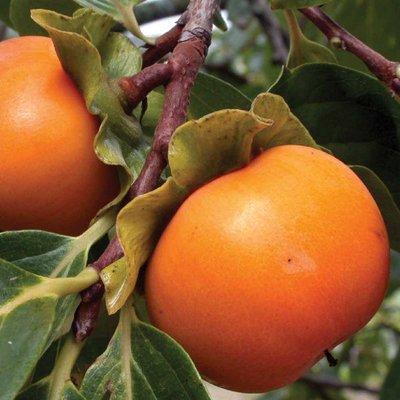 Sharon Fruit