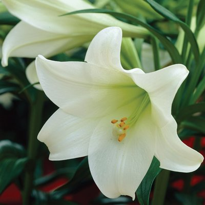 Trumpet Tree Lily