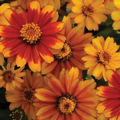 Zinnia marylandica